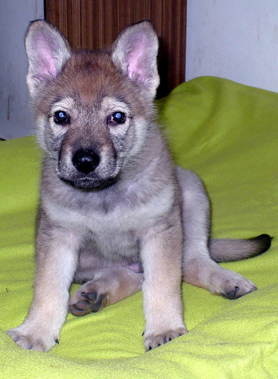 Czechoslovak Wolfdog puppy wallpaper