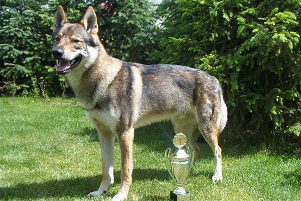 Чехословацкая волчья собака в профиль фото