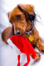 Dachshund and Christmas cap