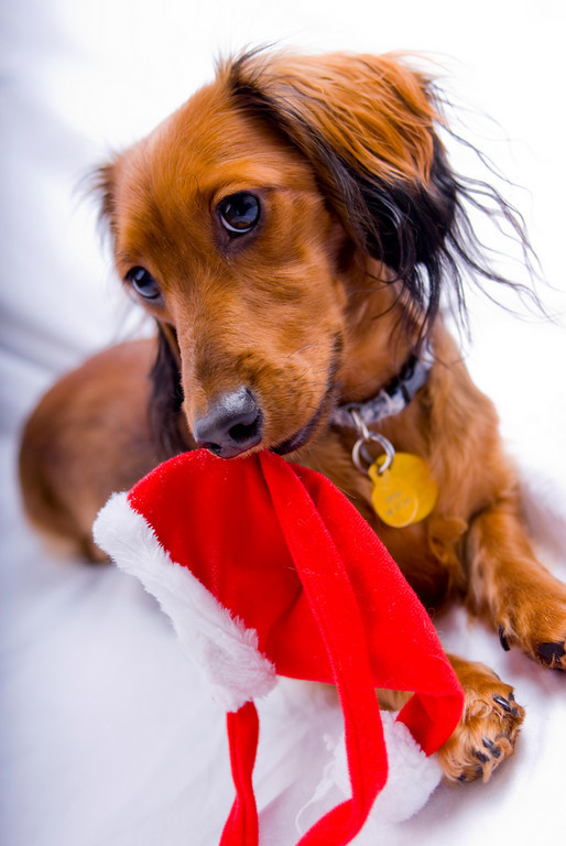 Dachshund and Christmas cap wallpaper