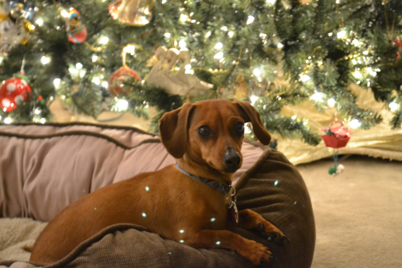 Dachshund at the Christmas tree wallpaper