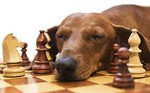 Dachshund dog and chess