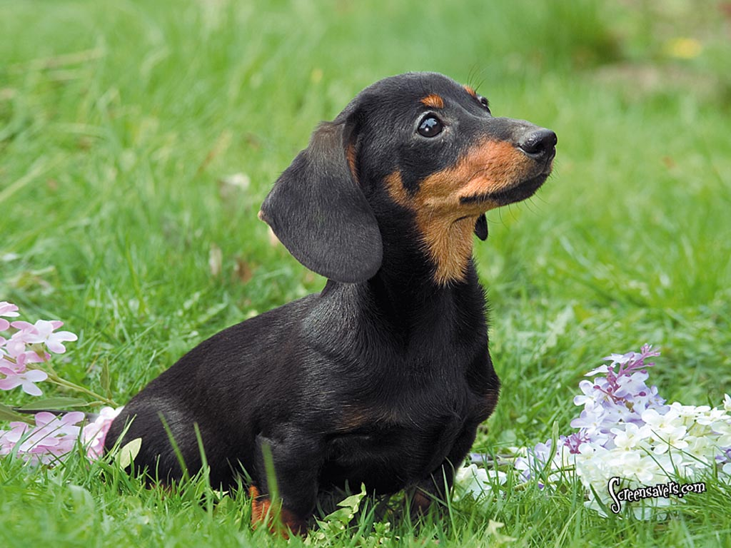 Dachshund dog in the grass wallpaper