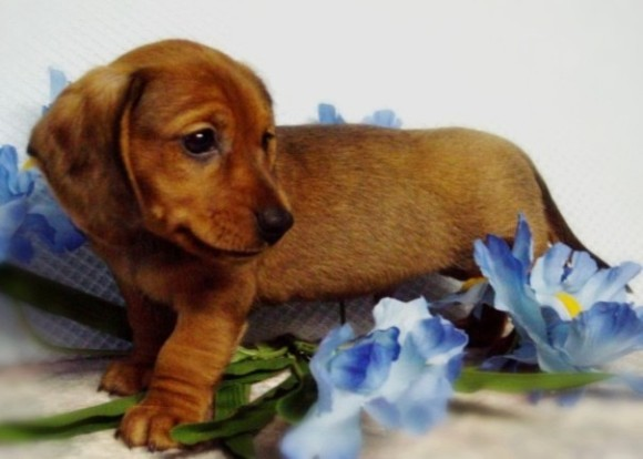 Dachshund dog  wallpaper