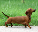 Dachshund dog side view