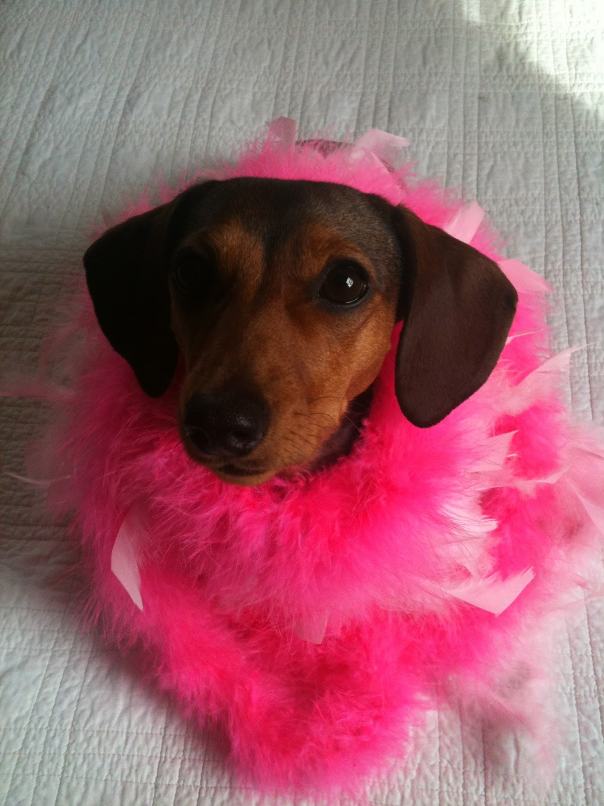 Simple Valentine Bow Adorable Dog - dachshund-valentine-wallpaper  Image_914076  .jpg