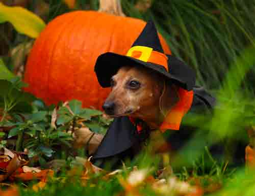 Dachshund witch фото
