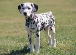 Dalmatian dog in the grass