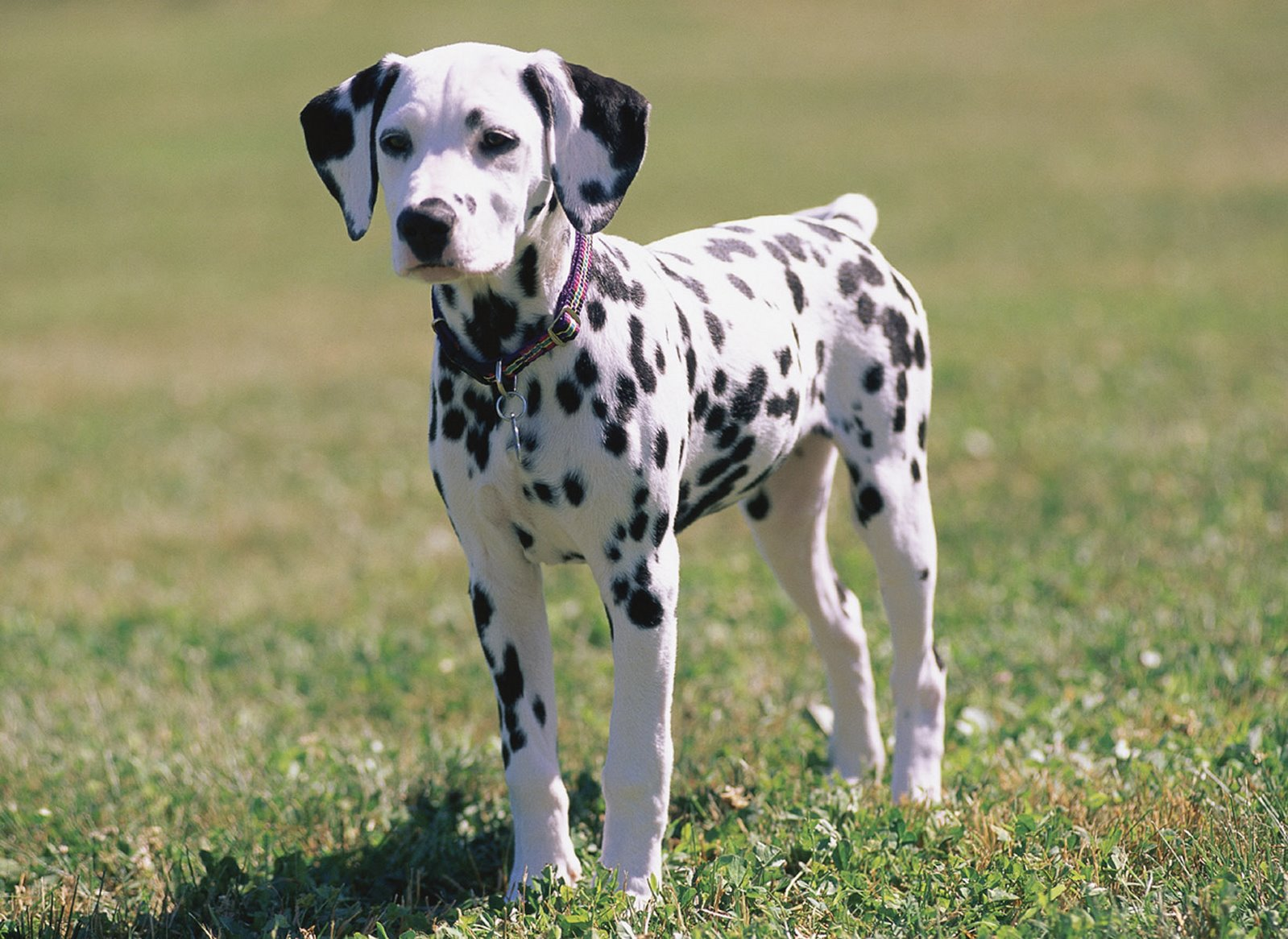 Dalmatian dog in the grass wallpaper