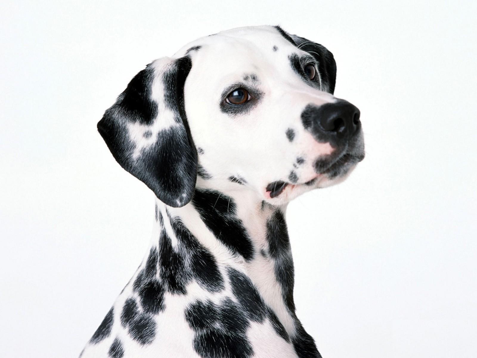 Dalmatian dog portrait wallpaper
