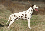 Dalmatian dog side view