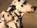 Dalmatian dog with baby
