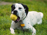 Dalmatian dog with ball