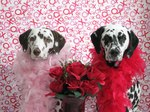 Dalmatian dogs married couple