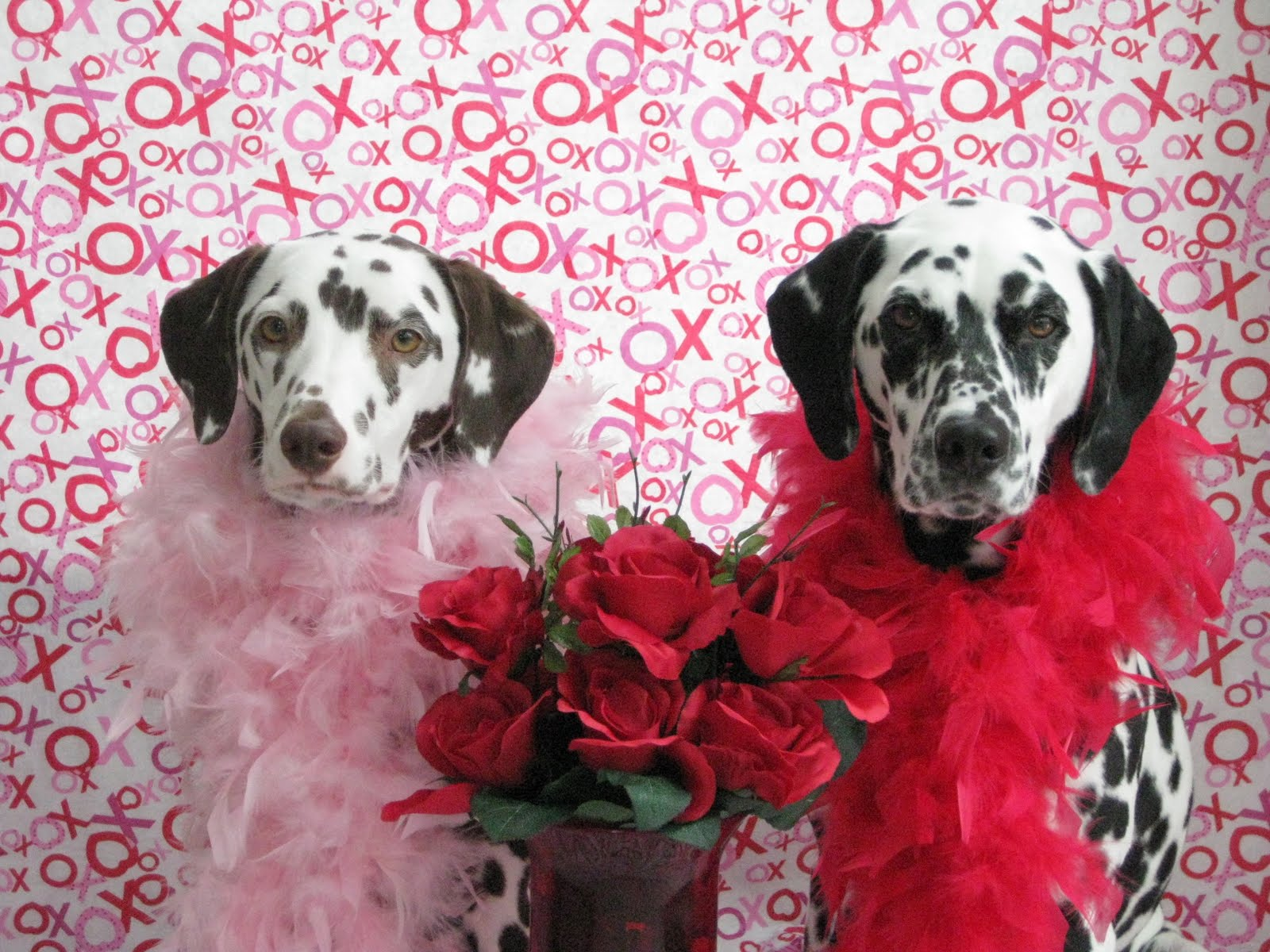 Dalmatian dogs married couple фото