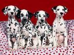Dalmatian dogs sweet