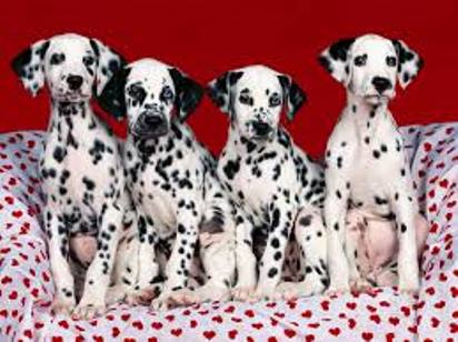 Dalmatian dogs sweet wallpaper