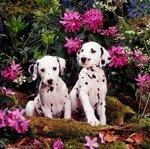 Щенки далматина в цветах