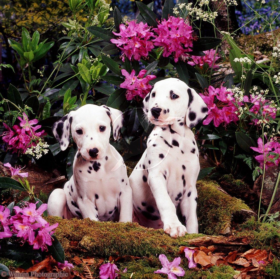 Щенки далматина в цветах фото