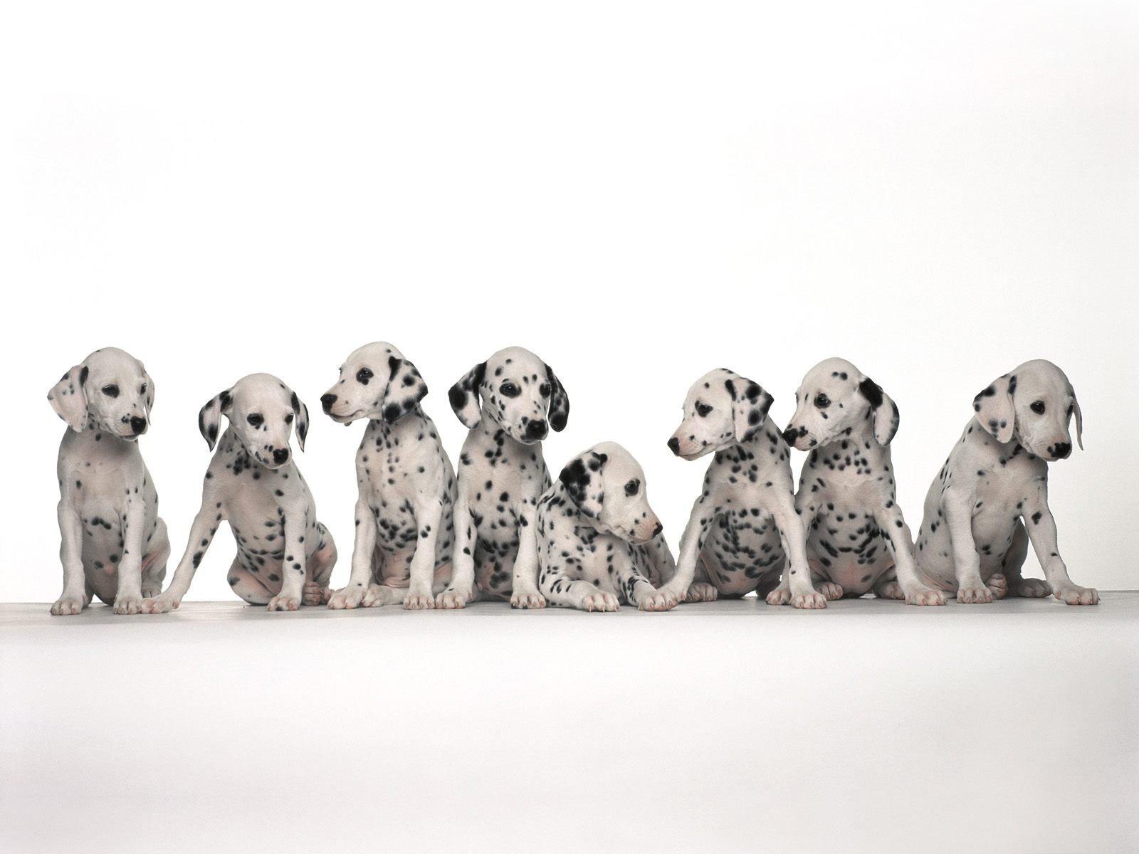 Dalmatian puppies wallpaper