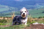 Dandie Dinmont Terrier in nature