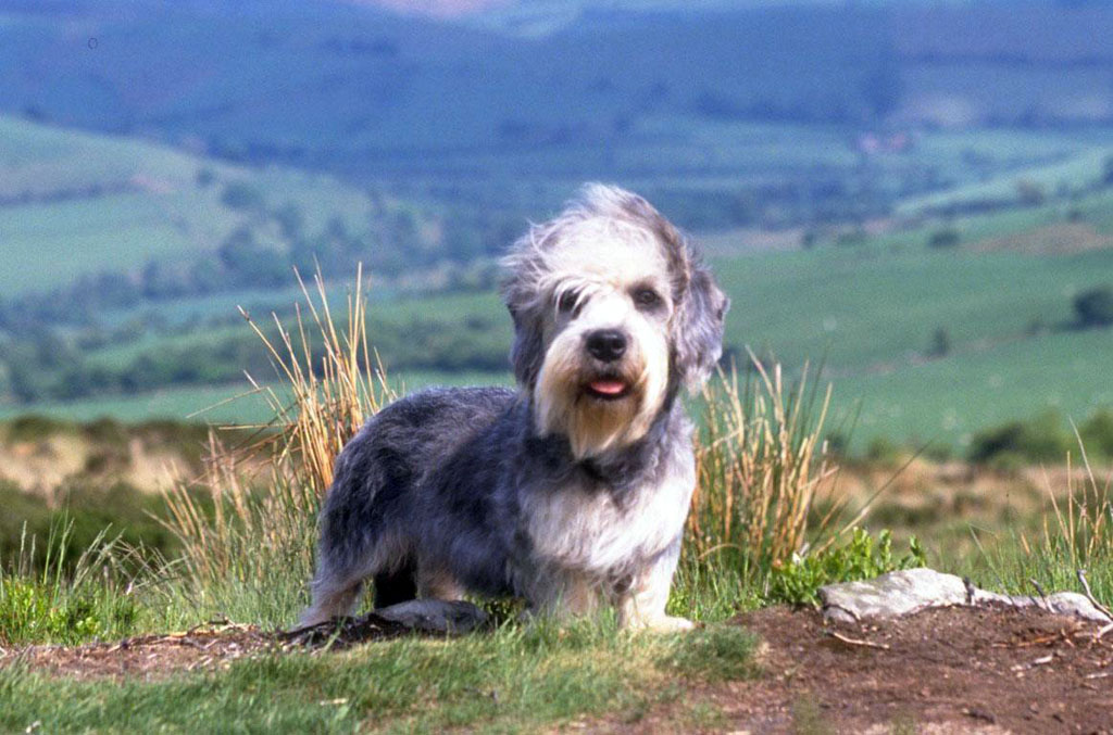 Dandie Dinmont Terrier in nature wallpaper