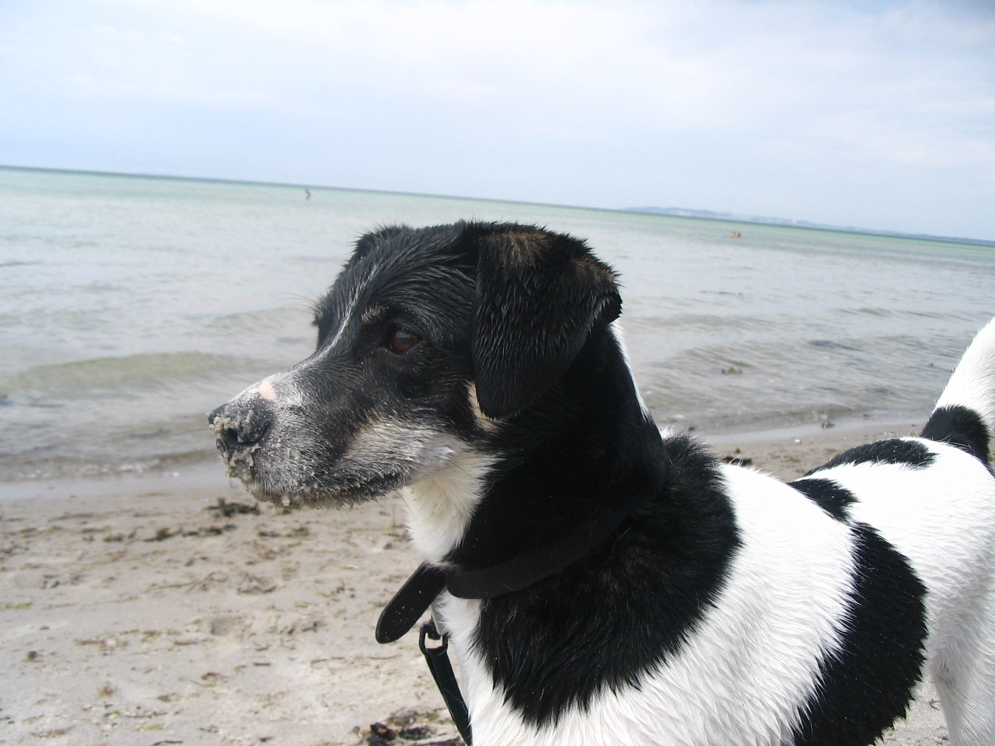Danish Swedish Farmdog by the sea wallpaper