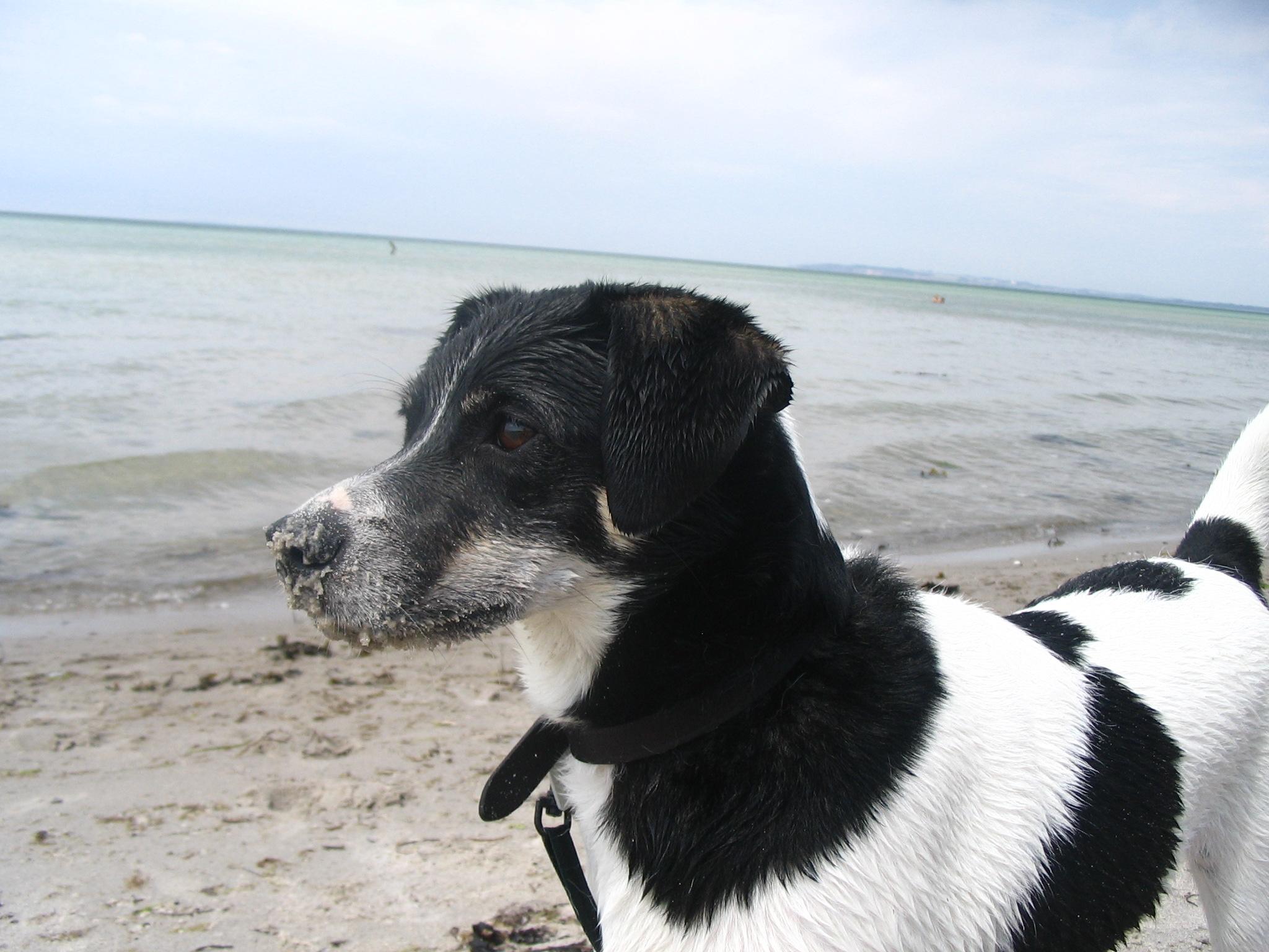 Датско-шведская фермерская собака на фоне моря фото