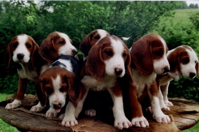 Deutsche Bracke dog puppies wallpaper