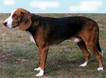 Deutsche Bracke dog side view