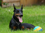 Doberman Pinscher and a ball