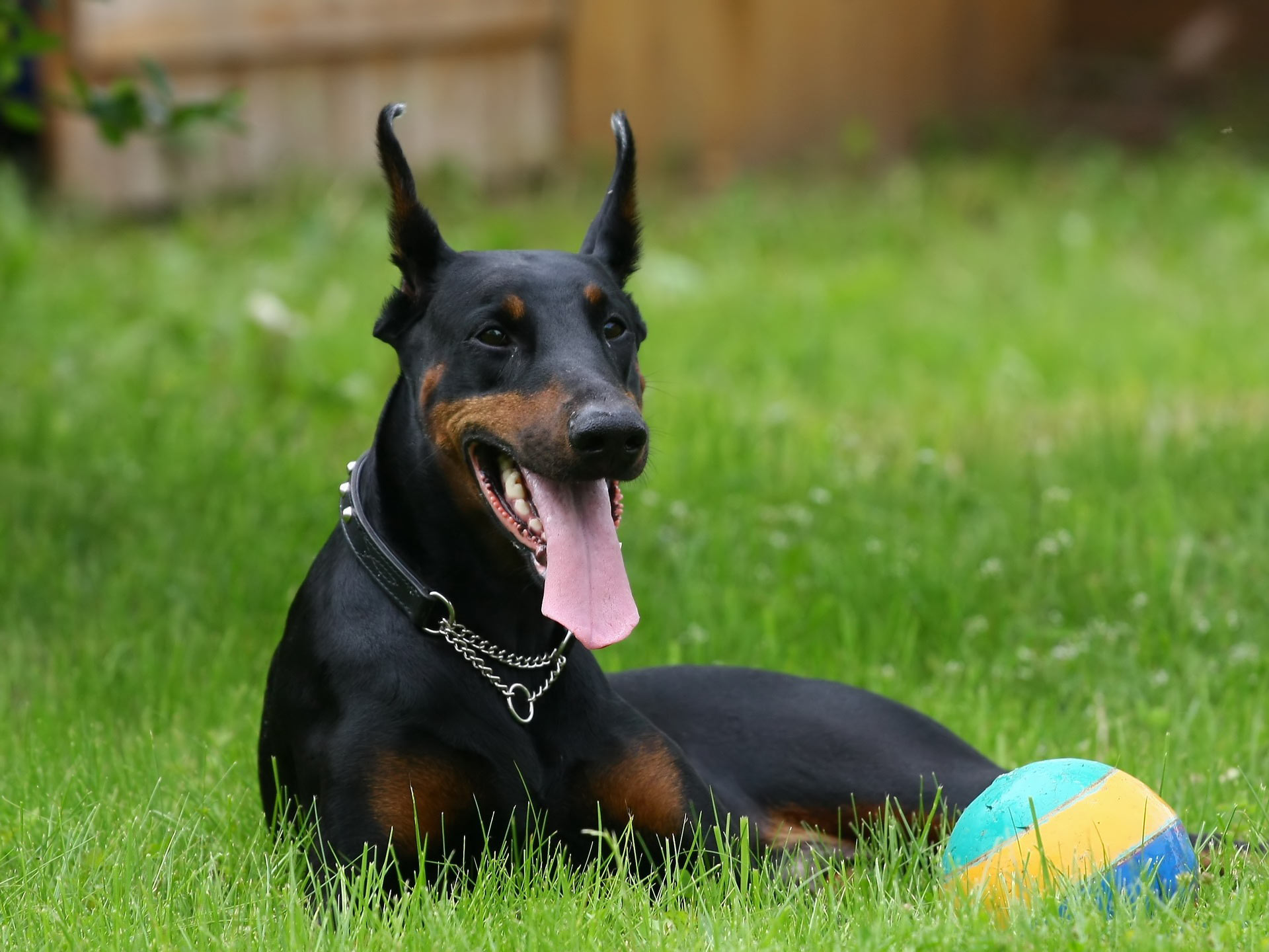 Doberman Pinscher and a ball wallpaper