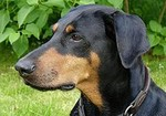 Doberman Pinscher dog face