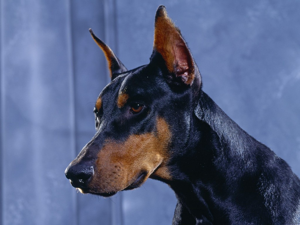 Doberman Pinscher dog  wallpaper