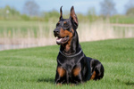 Doberman Pinscher in the grass