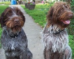 Two Wirehaired Pointing Griffon dogs
