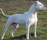 Dogo Guatemalteco side view