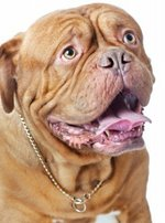 Dogue de Bordeaux dog portrait