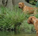 Dogue de Bordeaux dogs in the water