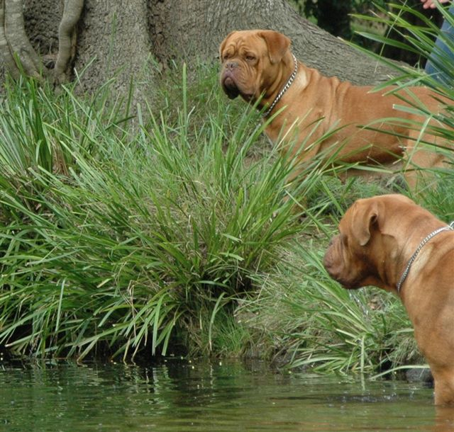 Dogue de Bordeaux dogs in the water wallpaper