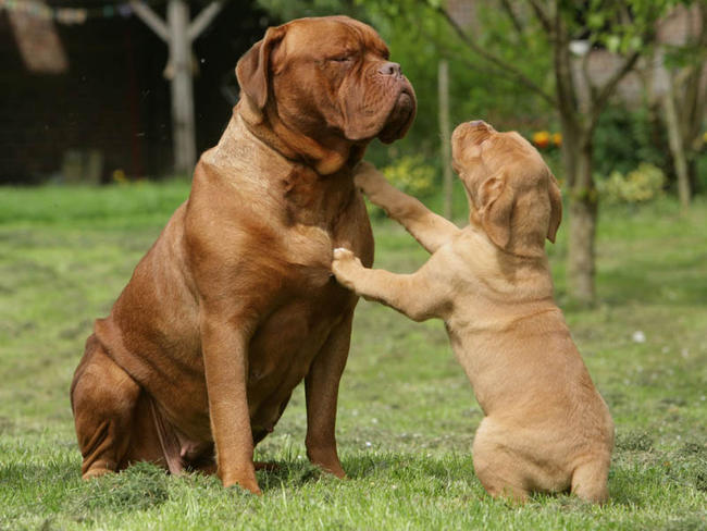 Dogue de Bordeaux family wallpaper