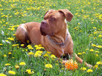 Dogue de Bordeaux in the flowers