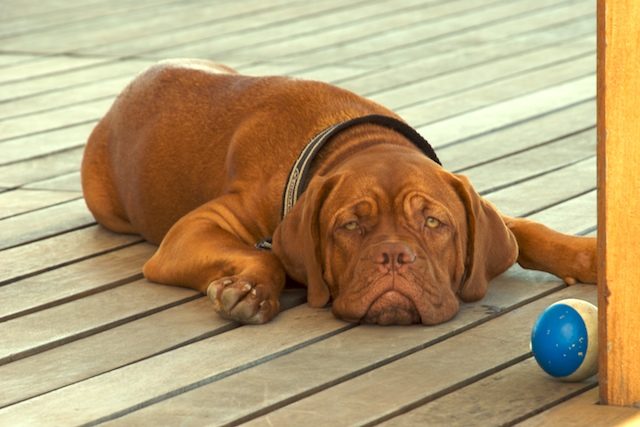 Dogue de Bordeaux wallpaper