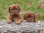Dogue de Bordeaux puppies on a log