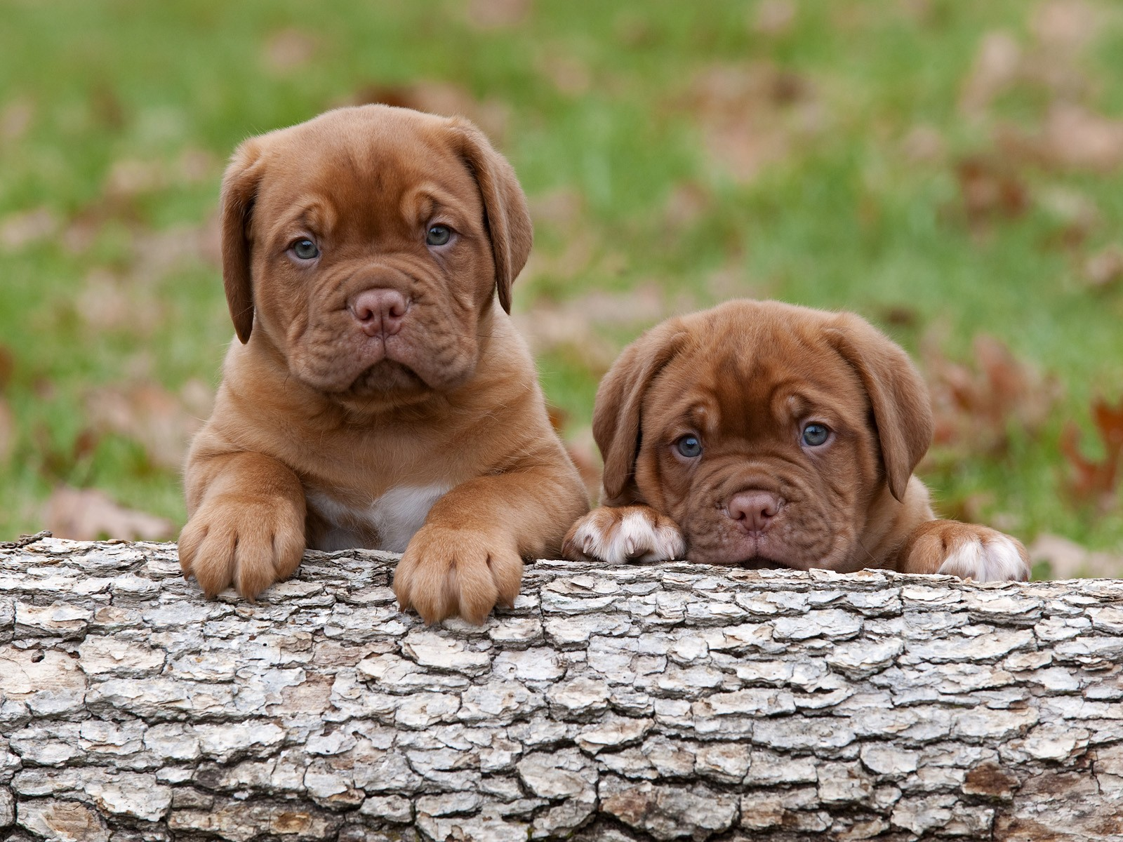 Dogue de Bordeaux puppies on a log wallpaper