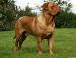 Dogue de Bordeaux side view