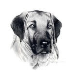 Drawn Anatolian Shepherd Dog