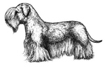 Drawn Cesky Terrier dog