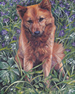 Drawn Finnish Spitz dog