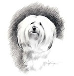 Drawn Havanese dog